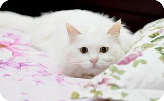 Domestic Shorthair Cat for adoption in Flagstaff, Arizona - amy