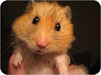 Hamster for adoption in Mt Vernon, New York - Teddy Bear & Dwarf Hamsters