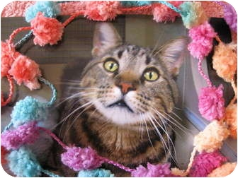 American Shorthair Cat for adoption in Brea, California - Roman