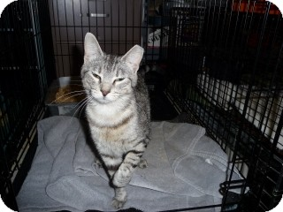 Domestic Shorthair Cat for adoption in Round Rock, Texas - Porsche Poo