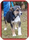 Shepherd (Unknown Type) Mix Puppy for adoption in Allentown, Pennsylvania - Myra