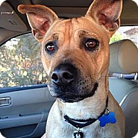 Adopt A Pet :: Scrappy-Doo - Gilbert, AZ