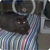 Adopt A Pet :: Midnight - Saint Albans, WV