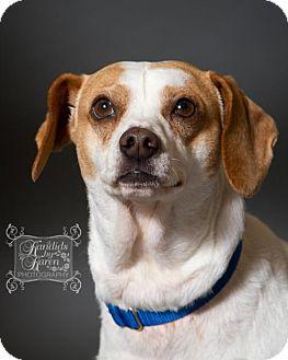 Rat Terrier Mix Dog for adoption in Valparaiso, Indiana - Roscoe