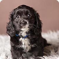 Adopt A Pet :: Violet - Salem, OR