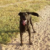 Labrador Retriever Mix Dog for adoption in Radium Springs, New Mexico - Nitro