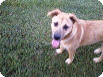 German Shepherd Dog/Labrador Retriever Mix Dog for adoption in Graceville, Florida - Corey #2
