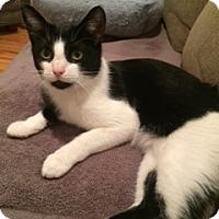 Adopt A Pet :: Figaro - Long Beach, NY