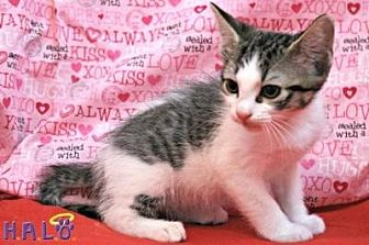 Domestic Shorthair Cat for adoption in Sebastian, Florida - Ivy