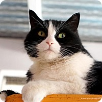 Adopt A Pet :: Sox - Tucson, AZ