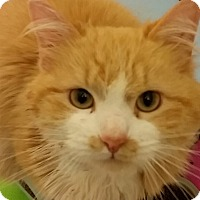 Adopt A Pet :: Calvin-CURLS UP IN LAP & PURRS - Naperville, IL
