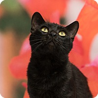 Domestic Shorthair Cat for adoption in Houston, Texas - Kobayashi