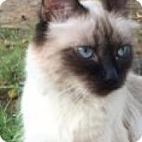 Adopt A Pet :: Sugar - Mesa, AZ