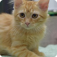 Domestic Longhair Cat for adoption in DFW Metroplex, Texas - Alani