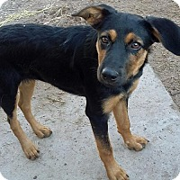 German Shepherd Dog Mix Puppy for adoption in Peralta, New Mexico - **JILL