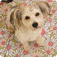 Maltese/Yorkie, Yorkshire Terrier Mix Dog for adoption in Canton, Georgia - TUCKER