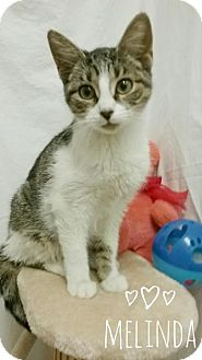 Domestic Shorthair Cat for adoption in Kendallville, Indiana - Melinda