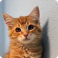 Domestic Mediumhair Kitten for adoption in Jamestown, California - Kesha