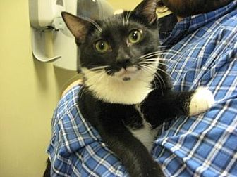 Domestic Shorthair Cat for adoption in Logan, Utah - Kenny