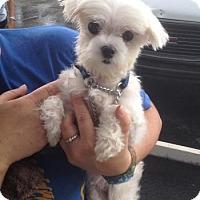Adopt A Pet :: Princess - Maquoketa, IA