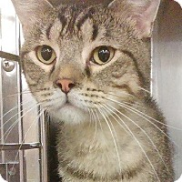 Domestic Shorthair Cat for adoption in Naperville, Illinois - Arturo-SILVER-GRAY SWEETIE