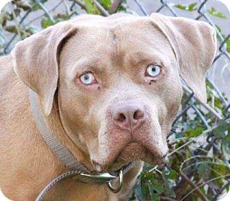 Dogue de Bordeaux Dog for adoption in Bolingbrook, Illinois - STORM