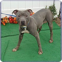 Pit Bull Terrier/American Staffordshire Terrier Mix Dog for adoption in Marietta, Georgia - JOCK