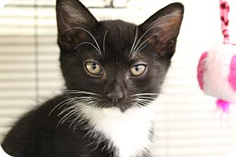 Domestic Shorthair Cat for adoption in Sarasota, Florida - Cogsworth