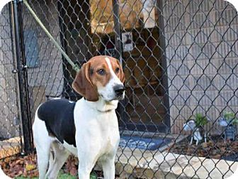 Treeing Walker Coonhound Dog for adoption in Atlanta, Georgia - BO