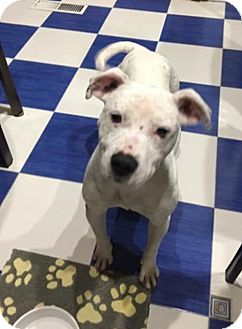 American Bulldog/Pit Bull Terrier Mix Dog for adoption in New York, New York - Marshmallow