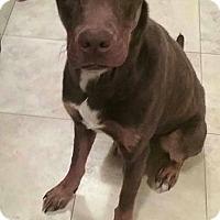 Adopt A Pet :: Buster Dobie Mix - Cincinnati, OH