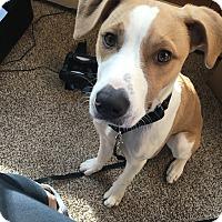 Adopt A Pet :: Abbott - not accepting new app - Manchester, NH