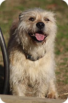 Cairn Terrier Mix Dog for adoption in Hamburg, Pennsylvania - Fraggle Rock