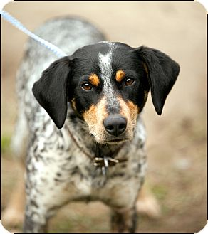 Treeing walker coonhound australian cattle dog mix dog for adoption in