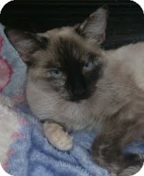 Siamese Cat for adoption in Westley, California - Hannah