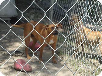 American Pit Bull Terrier Mix Dog for adoption in Daleville, Alabama - Roxy