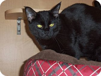 Domestic Shorthair Cat for adoption in Salem, Ohio - Licorice