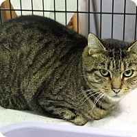 Adopt A Pet :: Brown Tabby Male - Duncan, BC