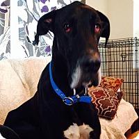Adopt A Pet :: Mater - Mesa, AZ