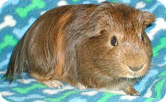 Guinea Pig for adoption in Steger, Illinois - Badger