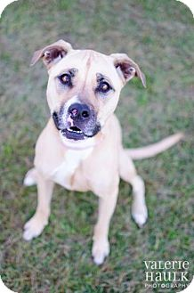 Boxer/Retriever (Unknown Type) Mix Dog for adoption in Dublin, Ohio - Brooklyn