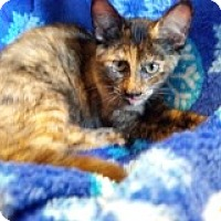 Adopt A Pet :: Tortie Kittens - 3 - Delmont, PA