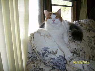 Calico Cat for adoption in Elyria, Ohio - Lilly