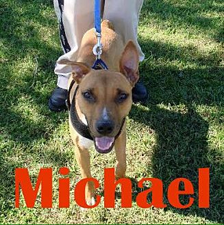 Boxer/Labrador Retriever Mix Dog for adoption in Orangeburg, South Carolina - Michael