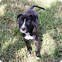 Adopt A Pet :: Daisy - Ft. Myers, FL