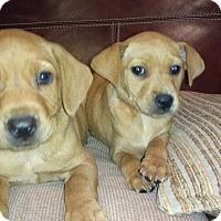 Adopt A Pet :: Shelly - Warrenton, NC