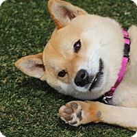 Adopt A Pet :: Chibi - Manassas, VA