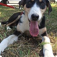 Adopt A Pet :: Ninja - Kosovo Dog - Encino, CA