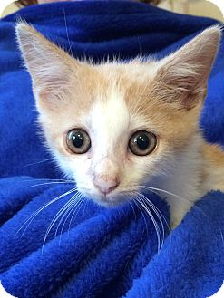 Oriental Kitten for adoption in Nashville, Tennessee - Brody