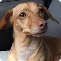 Adopt A Pet :: Simone - Weston, FL